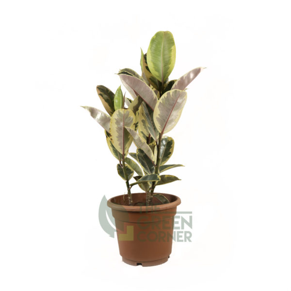 Ficus elastica Tineke Pot 310mm