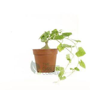 Gerrandanthus macrorhizus Pot 110mm