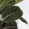 Maranta leuconeura mantis - Pot 120mm - Close