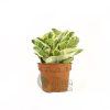 Peperomia obtusifolia variegata Pot 110mm