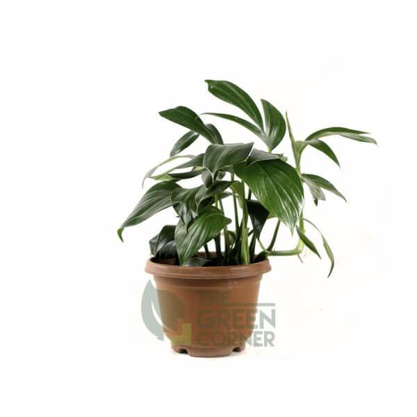 Epipremnum pinnatum Pot 170mm