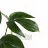 Epipremnum pinnatum Pot 170mm - Close