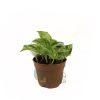 Scindapsus Marble Queen Pot 110