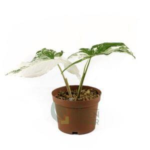 Syngonium podophyllum albo var Pot 120mm tgc
