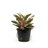 Aglaonema 'Red Siam' - Pot 170mm