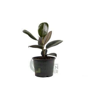 Ficus elastica Pot - 170mm