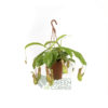 Nepenthes spp.