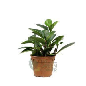 Peperomia obtusifolia - Pot 110mm