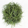 Tillandsia ionantha 'Rubra' Clump - Close