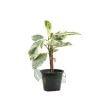 Ficus elastica Var.