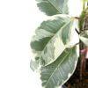Ficus elastica Var. - Close